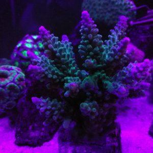 Unter UV kommen einige Exemplare schön zur Geltung!